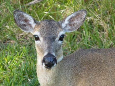 Una settimana a Miami: Keys, un tipico cervo di Big Pine Key